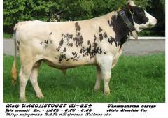 Сперма быка Мавр UA 8011370027 (голштин...