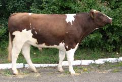 Сперма быка  Ромул Ет UA 5300569869 (голштин...