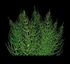 Meadow pine herb