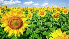 Fuz is sunflower
