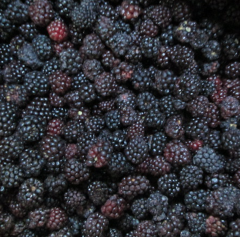 Blackberry-frozen / IQF Blackberry
