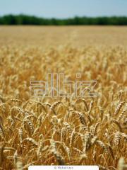 Зерновые культуры. Пшеница.