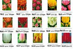 Bulbs of tulips, Tulips