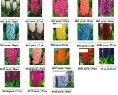 Bulbs of hyacinths, Hyacinths