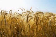 Green crops seeds