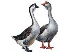 Комбікорм несучки качки та гуси (СП 16%)