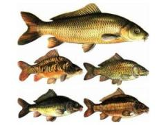 Комбикорм для промысловой рыбы Артикул: F11
