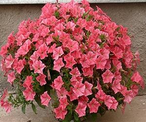 Семена Петунии «Джоконда»розовая