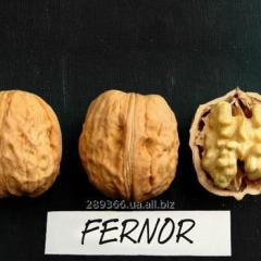 Saplings of FERNOR waln
