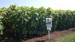 Семена подсолнечника Нови сад (Сербия) Clearfield, Express Sun, классика