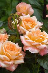 Саженец английской розы Сер Ланцелот