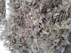 Мята лугова́я трава (лат. Méntha arvénsis)  Family