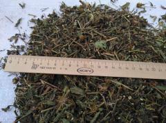 Train grass (Bidens tripartita L.) Family Farm