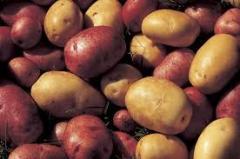 Картофель сорт Роко