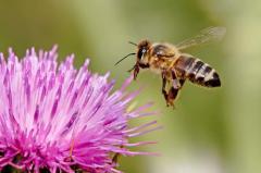 Пчелопакеты (4 рамочные) карпатской породы пчел