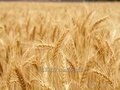 Семена озимой пшеницы Заатбау, Заатен Юнион, КВС, ЛГ