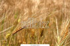 "Озимая пшеница ""Наталка""  остиста"