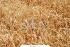 "Озимая пшеница ""Колос Миронівщини"" безоста"