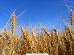 """Озима пшениця """" Антонівка"""" остиста"""