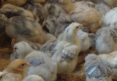 Цыплята 3-х и 4-х недельные подрощенные Редбро, Голошея, Мастер-Грей. Выращиваем под заказ