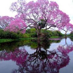 Саджанці Павловнії (Адамове дерево, Дерево