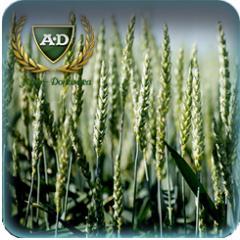 Пшеница озимая Кубус