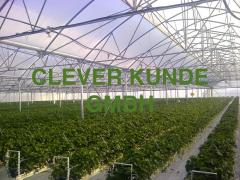 Design, delivery and service of industrial greenhouses for cultivation of strawberry