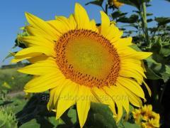 Семена подсолнечника НС Х 2652 (под Экспресс  под Гранстар 50 г)
