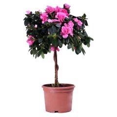 Растение азалия на штамбе
