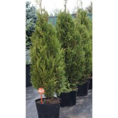 Coniferous bush thuja of a plikat (180-200 cm)