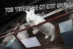 Breeding rabbits of meat breed across Ukraine,