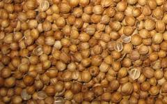 Coriander - coriander Grains.