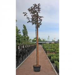 Лиственное дерево клен ложноплатановый