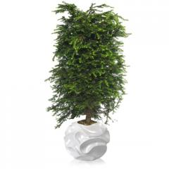 Хвойное дерево тсуга канадская 100-120См