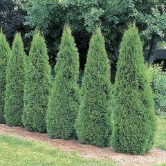 Mudas de árvores coníferas