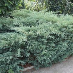 Coniferous bush Juniper Virginia Hetz 40/60 of cm