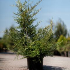 Coniferous bush Juniper Chinese Kuriwao Gold 60/80