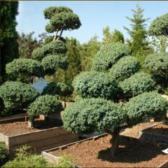 Coniferous bush Juniper Chinese to Bl Alps Bonsai