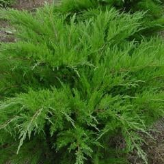 Coniferous bush Juniper average Mint Julep 80/100