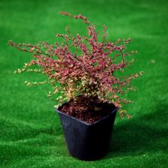 The deciduous and blossoming bush a barberry of a