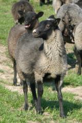 Продаем овец, овцематок,ярок,племенных баранов