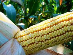Кукуруза Mv 355 (ФАО 390) Венгрия