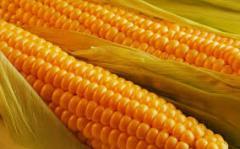 Кукуруза ГКТ 211 (ФАО 210) Венгрия ранняя