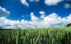Семена яровой пшеницы/ насіння ярої пшениці Ранняя 93 (БС, элита)