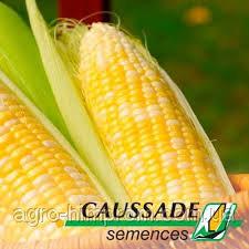 Семена Кукурузы Исбери КС / Ісбері КС - ФАО 190 раннеспелая, Франция