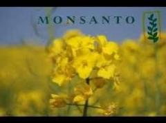 Семена Рапса озимого ДК Северный Monsanto/ насіння ріпака 1.5 млн/шт