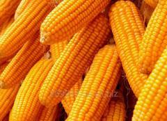 Гібрид кукурудзи   Дніпровський  257 СВ