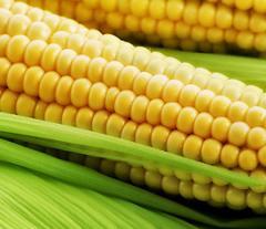 Гібрид кукурудзи  PR39G83 ФАО 230