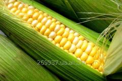Гібрид кукурудзи  RAM  6475 (Буде в продажу з 2017 року)