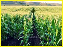 Гібрид кукурудзи МОНІКА 350 МВ 2016 рік